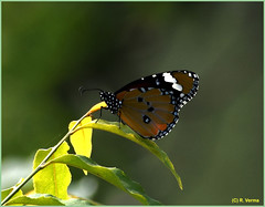 Monarch Butterfly (Verma Ruchi) Tags: butterfly leaves green brown monarch