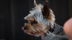 Mikki (Edwin Lukas) Tags: lumix s1r 24105mm hunde yorkshireterrier hundporträit augenfokus f50 89mm iso320 1100 natur tiere haustiere