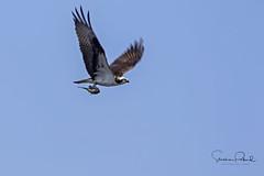 Osprey with Prey (Stephen J Pollard (Loud Music Lover of Nature)) Tags: osprey águilapescadora pandionhaliaetus bird ave avedepresa birdofprey averapaz raptor