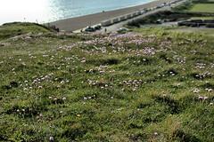 Cliff Flowers (Croydon Clicker) Tags: flower wild hill view beach beachhuts sea ocean grass seaford sussex eastsussex