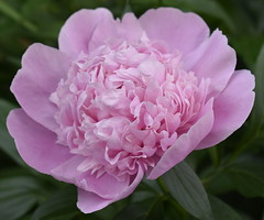 Peony (Pictures by Ann) Tags: peony flower farm frontyard pink