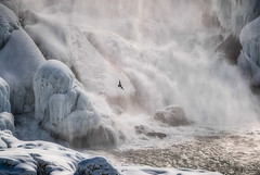 Winter ReWorked - Niagara (KWPashuk (Thanks for >3M views)) Tags: nikon d200 nikkor70300mm nikor70300mmvr lightroom luminar luminar2018 luminar3 kwpashuk kevinpashuk niagarafalls waterfall bird seagull nature outdoors ontario canada winter