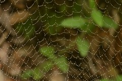 Spider web with drizzle drops (Treebeard) Tags: spider web raindrop trashlineorbweaver cyclosa araneidae sanmarcospass santabarbaracounty california