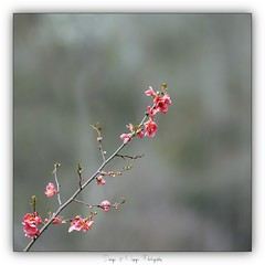 Pb_4220052 (calpha19) Tags: imagesvoyagesphotography adobephotoshoplightroom olympusomdem1mkii zuiko 50200swd surlevif printemps flickrsexplore ngc flore flowers vosges grandest grangessurvologne olympus em1markii 50200mm lens