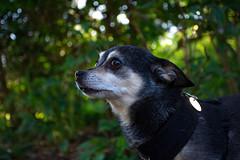 DSC_0155 (Alex Srdic) Tags: dog doggo doge chihuahua pet chihuahuas blackdog tinydog smalldog uk england portsmouth southsea milton rosegardens seafront park