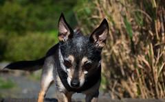 DSC_0009 (Alex Srdic) Tags: dog doggo doge chihuahua pet chihuahuas blackdog tinydog smalldog uk england portsmouth southsea milton rosegardens seafront park