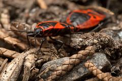 Prolonged Lovemaking - _TNY_7909 (Calle Söderberg) Tags: macro canon canon5dmkii canoneos5dmarkii canonef100mmf28usmmacro canon5dmarkii 5d2 raynox dcr250 flash speedlite canon580exii flosdiffuser halvvinge hemiptera pyrrhocoris apterus firebug eldlus bugsonbugs mating buggyporn red black skinnbagge eldskinnbagge pyrrhocoridae heteroptera insect insects backtoback gemeinefeuerwanze feuerwanze wanze pentatomomorpha redeyes f22