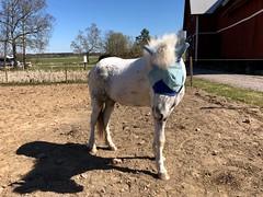 Nu är den blå på… (Patrick Strandberg) Tags: sweden östergötland bergagård freyda freydafrånblixtorp icelandichorse islandshäst horse häst iphone iphonex