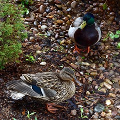 Mallard Pair:  Waiting Out the May Snowstorm by Our Front Porch (Ginger H Robinson) Tags: mallard ducks pair waiting may spring snowstorm rockymountain frontrange colorado rocks wet waterfowl bird drake platyrhynchos anas dabbling
