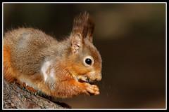 IMG_0213 Red Squirrel (Scotchjohnnie) Tags: redsquirrel sciurusvulgaris squirrel squirrelphotography rodent mammal wildlife wildlifephotography wildandfree wildanimal nature naturephotography canon canoneos canon7dmkii canonef100400f4556lisiiusm scotchjohnnie