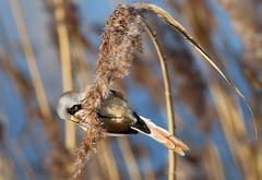 Bearded Tit (robin denton) Tags: panurusbiarmicus beardedtit bird nature wildlife rspbreserve rspb staidans