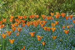 Tulips amongst the forget-me-nots Highdown gardens (Lord V) Tags: flower highdown tulip forgetmenot