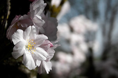 Prunus Serrulata . (helmet13) Tags: leicaxvario flora blossom cherryblossom spring sunshine selectivefocus bokeh prunusserrulata sakura 桜