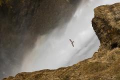 Flight of the Fulmar I (craig.denford) Tags: skogarfoss waterfall fulmar iceland craig denford canon 7d mark ii