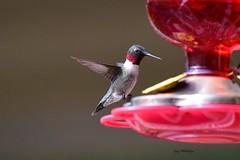 Hummingbird_1219 (2)ce (Porch Dog) Tags: 2019 garywhittington nikond750 nikkor20500mm wildlife nature bird avian feathers backyard birdfeeder hummingbird