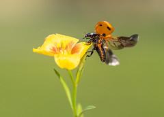 Ladybug (nuranaaba) Tags: ladybug insect image closeuo shot wildlife