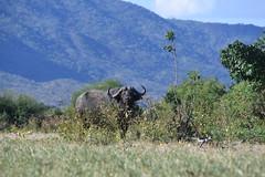 DSC_3761 (Marshen) Tags: zambia capebuffalo