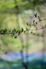Beech buds and bluebell bokeh (tonybill) Tags: april cyclop85mmf15 northdowns sonya7iii sunshine surrey whitedown bluebellwood bluebells bokeh