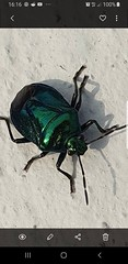 Anyone know what bug this is? Thinking shield bug type (Huddsbirder) Tags: