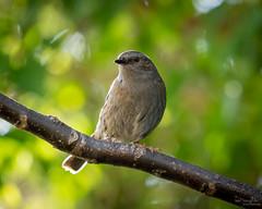 Dunnock (Mr Aylesbury) Tags: bokeh england bird sonya7iii sony dunnock 2019 karlvaughan fe24240mmf3563oss