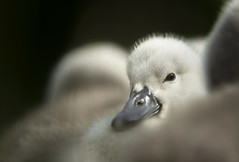 Mute Swan cygnet (Benjamin Joseph Andrew) Tags: chick youngster baby fluffy cute waterbird waterfowl spring river freshwater one lone single individual looking staring puzzled puzzling