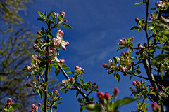 Zeit der Apfelblüte (Helmut Reichelt) Tags: apfelblüte apfelbaum blüten garten geretsried april frühling wald bayern bavaria deutschland germany leica leicam typ240 captureone12 dxophotolab leicasummilux50mmf14asph