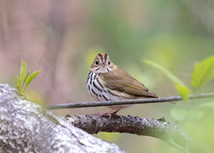 An Ovenbird in the woods, tough guy to photograph! (Beth Rizzo) Tags: nature wildlife wildlifephotography animals naturallightphotography naturalworld naturallight pond pondlife avian bird birdphotography birding birdingnewengland spring springnewengland newengland ovenbird warbler warblers feathers wings ponds