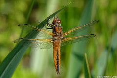 Meadow Sweet (Paul:Ritchie) Tags: anisoptera arthropoda dragonflies insecta insects libellula libellulafulva libellulidae libellulinae nature nikond90 odonata paulritchie scarcechaser sigma70300mmf456apomacrodg wildlife wwwhampshiredragonfliescouk
