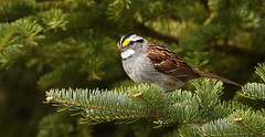 Bruant à gorge blanche \ White-throated Sparrow (Alain Daigle) Tags: bruantàgorgeblanche whitethroatedsparrow