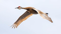 _U7A5052 (rpealit) Tags: scenery wildlife nature wallkill river national refuge sandhill crane bird flying