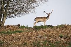 Stag Do (Skyline:)) Tags: earthday deer animal wildlife stag