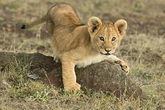 Claws out (garryfowle) Tags: lion cub young pantheraleo kenya mara safari predator cat bigcat