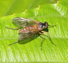 ecosystem/fauna/Snipe Fly/Rhagionidae (biodiversity western ghats(before it is gone)) Tags: taxonomy:family=rhagionidae