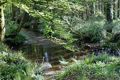 Tintern Wood (Ken Meegan) Tags: tinternwood tinternabbey saltmills cowexford ireland tinterntrails tinternriver 552019 wood tree