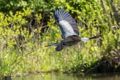 Great Blue Heron (jwfuqua-photography) Tags: herons greatblueheron birds nature waterfowl pennsylvania wadingbirds jerrywfuqua peacevalleynaturecenter buckscountyparks buckscounty jwfuquaphotography