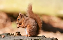 RED SQUIRREL (Donald Douglas) Tags: red squirrel carnie woods