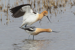American Avocets (Peter Stahl Photography) Tags: americanavocet shorebirds spring bird wildlife waders elegantwader 1680mm