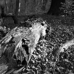 rfsl66planar220419002 (salparadise666) Tags: rolleiflex sl66 planar 80mm fomapan 100 boxspeed caffenol rs 15min nils volkmer analogue film medium format slr nature landscape forest tree dof tilt square bw black white monochrome hannover region niedersachsen germany north german plains lowlands