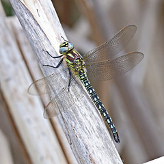Hairy Hawker - Michael Bird (Just call me Doc) Tags: brachytronpratense hairyhawker dragonfly dragonflies odonata holmepierrepont nottingham nottinghamshire skylarksnaturereserve canon tamron g2 6d 150600mm michaelbird macro