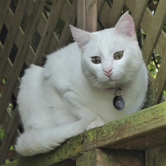 "San Francisco, CA, Noe Valley, Visiting My Son, Shared Backyard Garden, White Cat ""Ava"" Paying a Visit (Mary Warren 13.9+ Million Views) Tags: sanfranciscoca noevalley nature pet white fauna animal mammal cat coth5"
