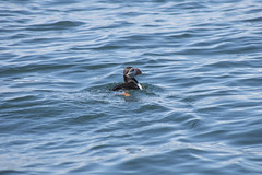 Puffin Swimming (ukalex) Tags: inner farne birds bird nature puffin puffins wildlife sea rocks sky travel