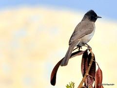 DSC_0921 (RachidH) Tags: birds oiseaux bulbul commonbulbul bulbuldesjardins pycnonotusbarbatus fayoum egypt rachidh nature