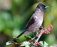 DSC_0926 (RachidH) Tags: birds oiseaux bulbul commonbulbul bulbuldesjardins pycnonotusbarbatus fayoum egypt rachidh nature