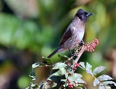 DSC_0927 (RachidH) Tags: birds oiseaux bulbul commonbulbul bulbuldesjardins pycnonotusbarbatus fayoum egypt rachidh nature