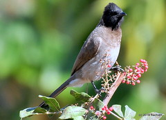DSC_0928 (RachidH) Tags: birds oiseaux bulbul commonbulbul bulbuldesjardins pycnonotusbarbatus fayoum egypt rachidh nature