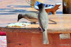 DSC_0933 (RachidH) Tags: birds oiseaux bulbul commonbulbul bulbuldesjardins pycnonotusbarbatus fayoum egypt rachidh nature