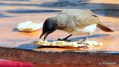 DSC_0934 (RachidH) Tags: birds oiseaux bulbul commonbulbul bulbuldesjardins pycnonotusbarbatus fayoum egypt rachidh nature