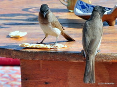 DSC_0935 (RachidH) Tags: birds oiseaux bulbul commonbulbul bulbuldesjardins pycnonotusbarbatus fayoum egypt rachidh nature
