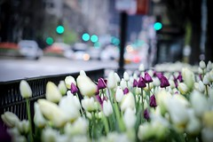 Taken by a telephoto lens (8-ballmabelleamie) Tags: tulips flowers flowerbeds michiganavenue magnificentmile