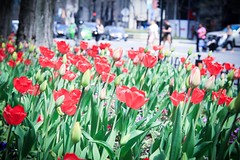 Magnificent Mile in early May (8-ballmabelleamie) Tags: tulips flowers flowerbeds michiganavenue magnificentmile
